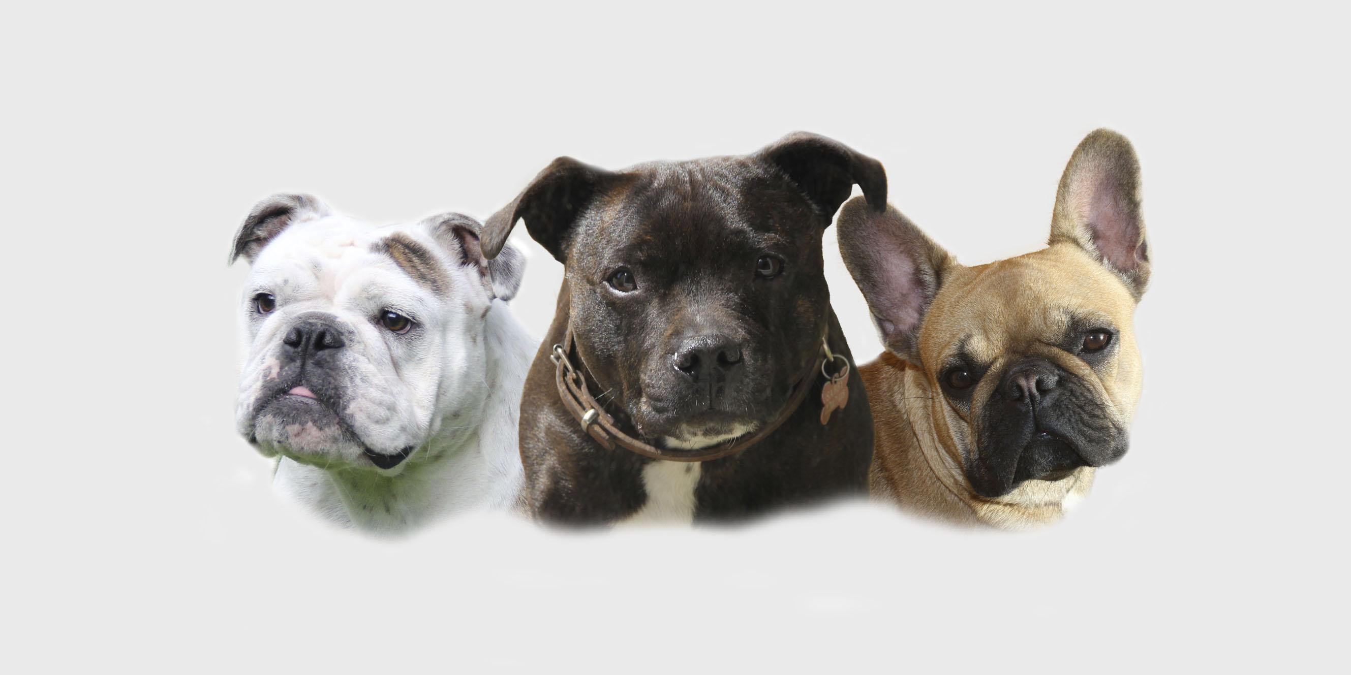 engelsk staffordshire terrier bull terrier blå